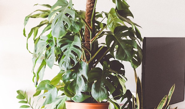 観葉植物の風水効果